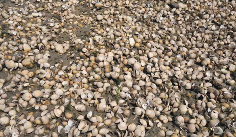 High abundance, low diversity faunal assemblage consisting of cockle and mussel shells, Loughor Bay, S Wales